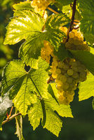 White grapes with green leaves on the vine. fresh fruits. Harvest time early Autumn.