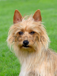 The portrait of Australian Terrier