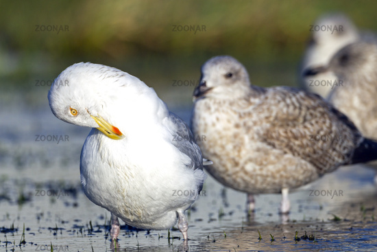 European Herring Gull adult bird in winter plumage and juveniles in first-winter plumage
