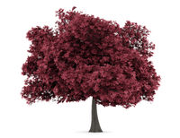 red maple tree isolated on white background