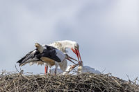 White Stork feeding the young on the nest / Ciconia ciconia