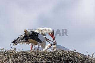 Weissstorch fuettert die Jungvoegel auf dem Nest