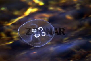 Ohrenqualle in der Ostsee / Aurelia aurita