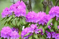 Purple rhododendron shrub