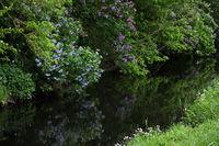 Lilac at a river