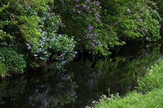 Flieder an einem Fluss