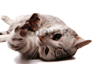Grey cat lies on his back isolated on white