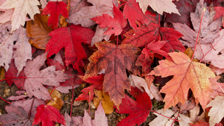 Close up of autumnal or fall foliage with assorted coloured leaves including red