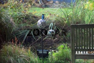 Eisvogel ist Gast am Gartenteich