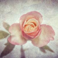 _DSC1705-xh-rose-txt2-pas-AGQ.jpg
