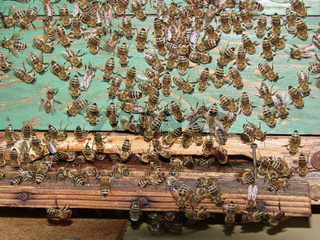 Close up of bee swarm on wooden hive box