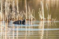 Bird Eurasian coot Fulica atra