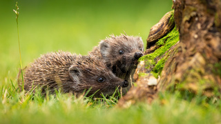 Two siblings of northern white-breasted hedgehog sniffing on meadow