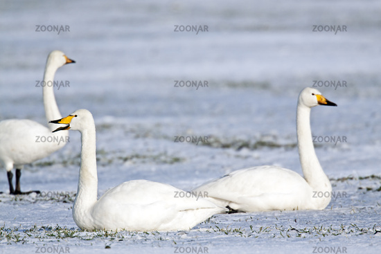 Whooper Swans on a snow-covered meadow