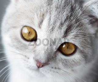 Kitten Scottish Straight. close-up