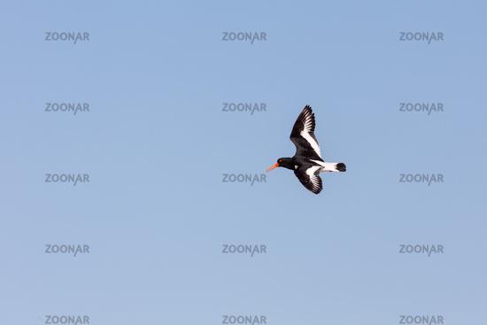 Eurasian oystercatcher (Haematopus ostralegus)