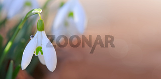 White snowdrops flower in sunny garden . Easter background.