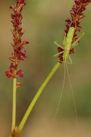 Suedliche Eichenschrecke (Meconema meridionale)
