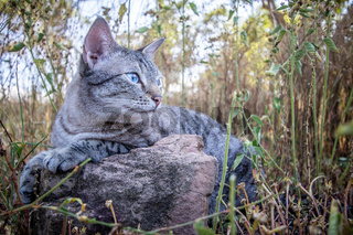 Blue-eyed cat laying in the grass.