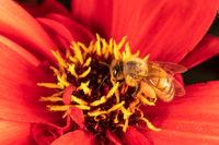 A honeybee on a red flower