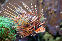 antenna fire fish (Pterois antennata)