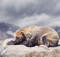 Brown Bear sleeping ,close up shot