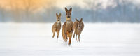 Group of roe deer running forward through deep snow in winter.