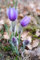 crocus in spring in bloom