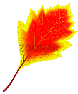 Image of red and yellow autumn aspen leaf