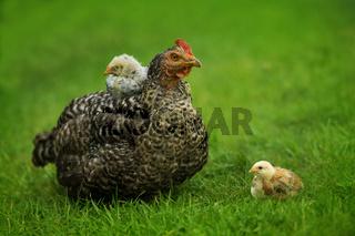 Hen in a meadow