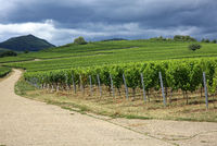 Vineyards in the southern Palatinate
