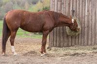 Horse eats on a hay bale - Austrian Warmblood