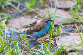 bird red-cheeked cordon-bleu, Gondar, Ethiopia Africa wildlife