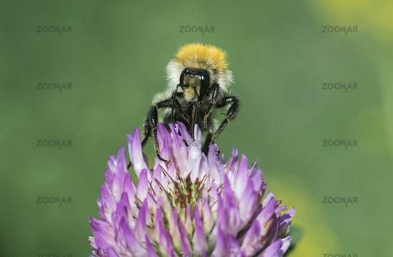 Longhorn bee searching for pollen Switzerland