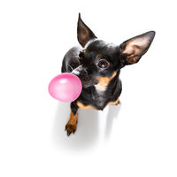dog or dogs chewing bubble gum