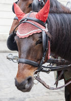 Portrait of a horse in traditional Vienna carriage harness