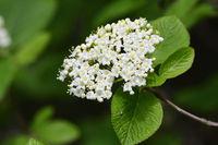 Wayfaring-tree Viburnum lantana