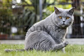 Graue Katze im Garten - British Kurzhaar