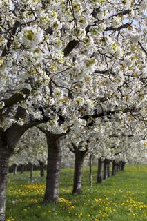 blühende Kirschbäume in Obereggenen