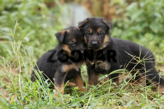 Two little shepherd puppies. Puppies on lawn.