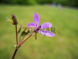 Geranium pratense_Storchschnabel