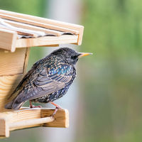 Huge starling at a birdhouse feeder