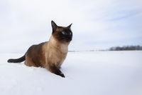 Cat in winter. Siamese cat walks on snowdrifts.