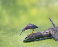 Green Heron  in Florida swamp
