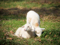 Two little sheeps in a meadow in spring