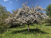 Orchard meadow with blooming apple tree