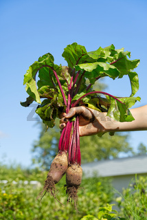 fresh organic beet harvest in woman hands assign blue sky Farmer holding extracted sugar beet root crop in field.