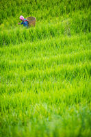 Older chinese woman walking through the ricefields