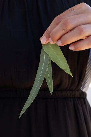 Eucalyptus leaves, natural pharmacy.