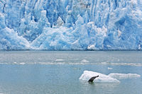 Harbour Seal glides from an ice floe / Phoca vitulina  -  Phoca vitulina richardsi